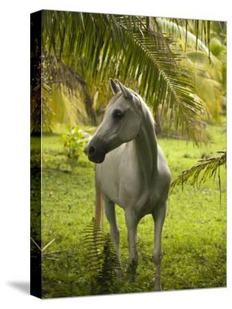 A White Horse in a Lush Green Landscape on Moorea Island