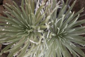 Silversword by Aaron Matheson