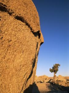 Afternoon Light on Rock and Tree, Joshua Tree National Park, California by Aaron McCoy