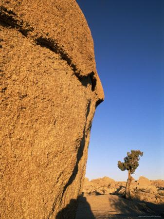 Afternoon Light on Rock and Tree, Joshua Tree National Park, California