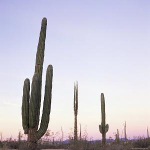 Cactus Plants after Sunset, Baja, Mexico, North America by Aaron McCoy
