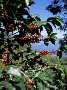 Close-up of Coffee Plant and Beans, Lago Atitlan (Lake Atitlan) Beyond, Guatemala, Central America by Aaron McCoy