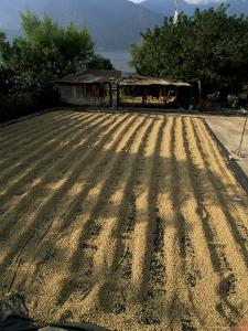 Coffee Beans Drying in the Sun, San Pedro, Atitlan Lake, Guatemala, Central America by Aaron McCoy