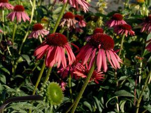 Echinacea, the Purple Coneflower, One of the Best Blood Purifiers by Aaron McCoy