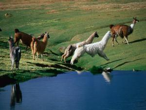 Llamas Leaping Over Spring Fed Water, Volcan Isluga National Park, Chile by Aaron McCoy
