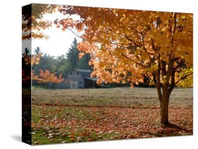 Maple Trees in Full Autumn Color and Barn in Background, Wax Orchard Road, Vashon Island, USA