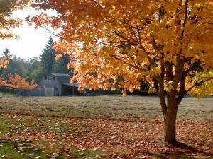 Maple Trees in Full Autumn Color and Barn in Background, Wax Orchard Road, Vashon Island, USA by Aaron McCoy