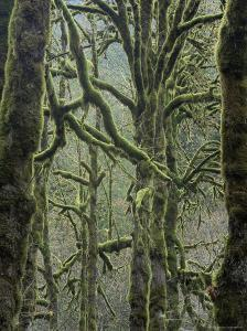 Moss Covered Maple Trees, Dosewallips Campground, Olympic National Park, Washington State, USA by Aaron McCoy