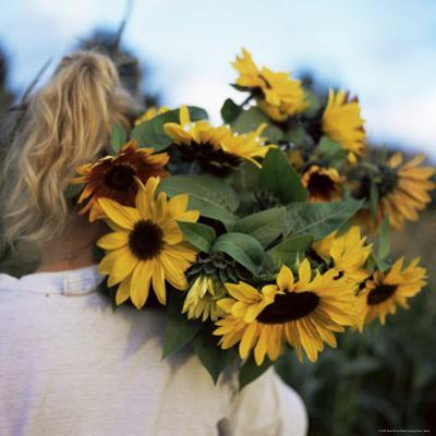 Sunflowers Being Carried by Grower, Washington State, USA