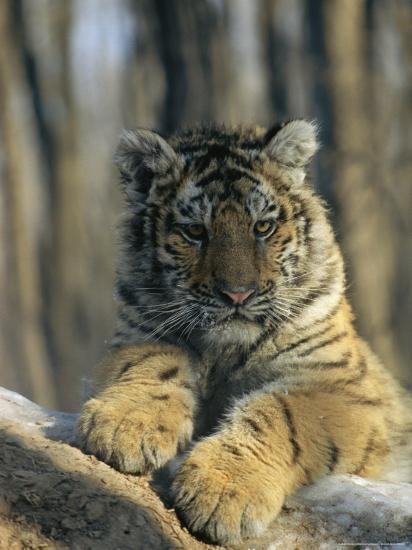 Abandoned As a Cub, the Siberian Tiger, Globus, Now a Graceful Adult-Marc Moritsch-Photographic Print