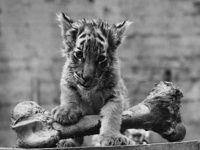 Abandoned Cub-William Vanderson-Photographic Print