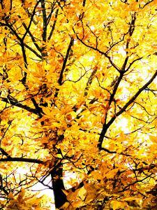 Yellow Tree in Autumn by Abbie Brown