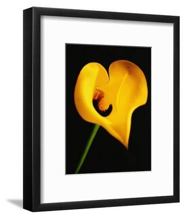 A Yellow Lily with an Arrow as the Stigma
