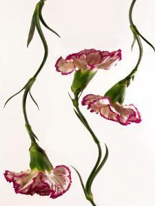 Flowing Carnation Flowers by Abdul Kadir Audah