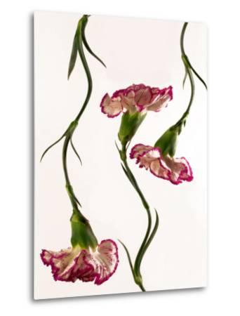 Flowing Carnation Flowers