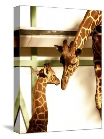 Giraffe Mother and Child Snuggle