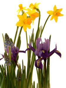 Spring Flowers: Daffodils, Iris and Muscari by Abdul Kadir Audah
