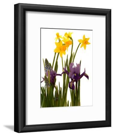 Spring Flowers: Daffodils, Iris and Muscari