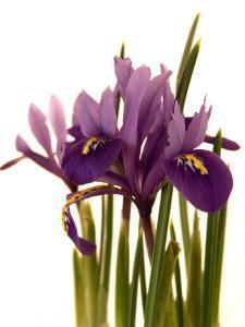 Spring Flowers: Iris by Abdul Kadir Audah
