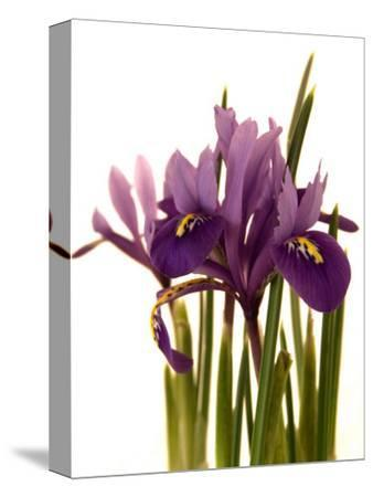 Spring Flowers: Iris