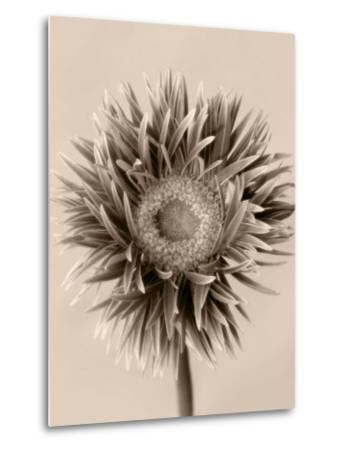 Still Life Photograph, a Gerbera Close-Up with Sepia Toning