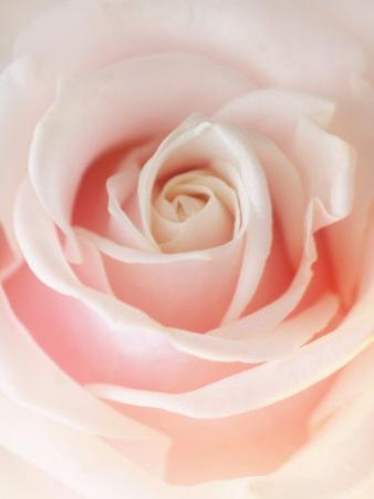 Still Life Photograph, a Pink Rose, Shot with Shallow Dof