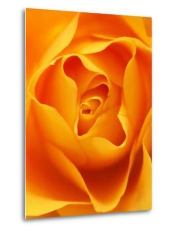 Still Life Photograph, Close-Up of Orange Rose
