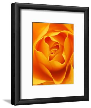 Still Life Photograph, Close-Up of Orange Rose
