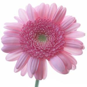 Still Life Photograph, Frontal Shot of a Pink Gerbera, Square Format Image by Abdul Kadir Audah