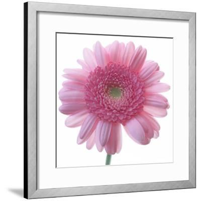 Still Life Photograph, Frontal Shot of a Pink Gerbera, Square Format Image