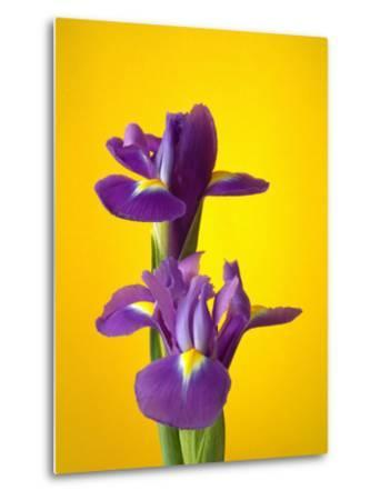 Still Life Photograph, Iris Flowers with Strong Yellow Colour Background