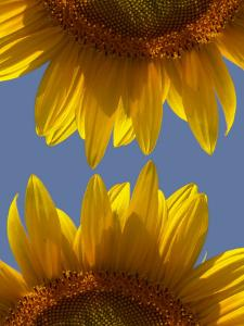 Sunflowers by Abdul Kadir Audah
