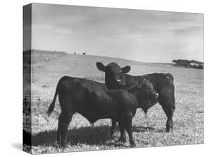 Aberdeen-Angus Bull Calves Standing in a Pasture
