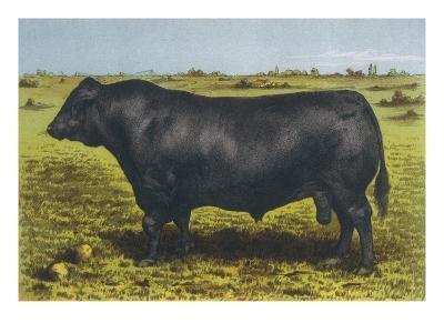 Aberdeen Angus Bull 'Cash'--Giclee Print