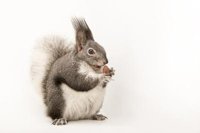 https://imgc.artprintimages.com/img/print/abert-s-squirrel-or-tassel-eared-squirrel-sciurus-aberti-at-liberty-wildlife_u-l-q1bu0030.jpg?p=0