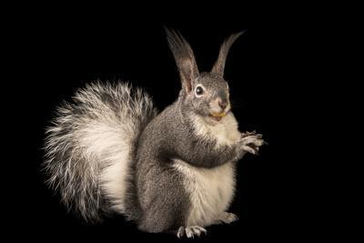 https://imgc.artprintimages.com/img/print/abert-s-squirrel-or-tassel-eared-squirrel-sciurus-aberti-at-liberty-wildlife_u-l-q1bu00u0.jpg?p=0