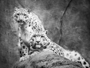 Frontal Portrait of Snow Leopard Pair by Abeselom Zerit