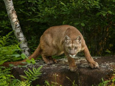 About to Pounce-Galloimages Online-Photographic Print