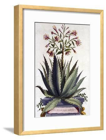 Aloe Serrata Major Umbellifera, from 'Phytographia Curiosa', Published 1702