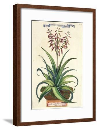 Aloe Vera Vulgaris, from Phytographia Curiosa, Published 1702