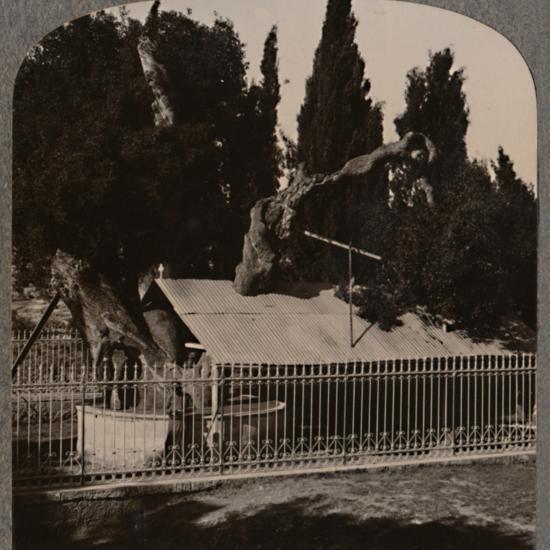 'Abraham's Oak near Hebron', c1900-Unknown-Photographic Print