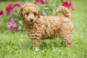 Abricot Poodle Puppy in Garden with Flowers