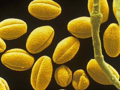 Absinthe (Artemisia Absinthium) Wind-Borne Pollen May Cause Allergy in Some People--Photographic Print