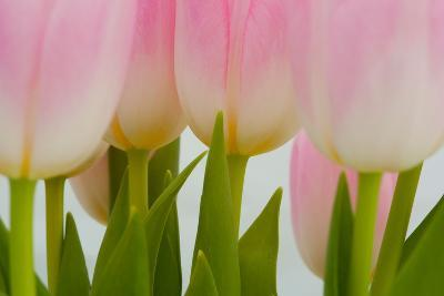Abstract Pink Tulips-Louise Elder-Photographic Print