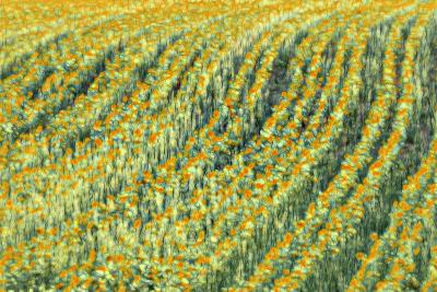 Abstract Sunflowers-Marco Carmassi-Photographic Print