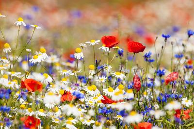 Abundance of Blooming Wild Flowers on the Meadow at Spring Time- courtyardpix-Photographic Print
