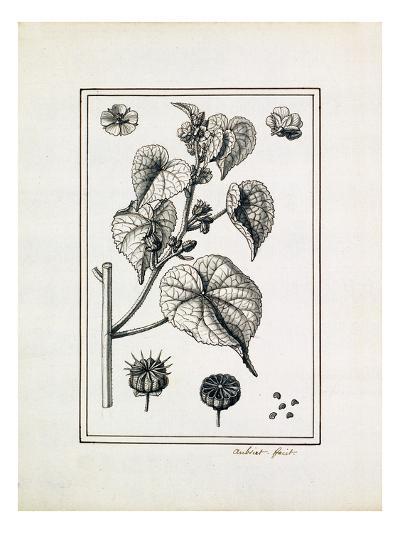 Abutelon dod Pemp-Claude Aubriet-Giclee Print