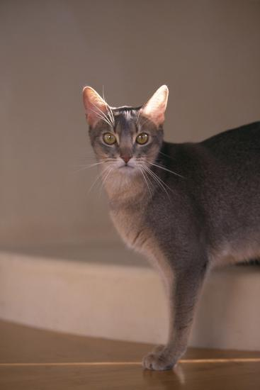 Abyssinian Blue Cat on Step-DLILLC-Photographic Print