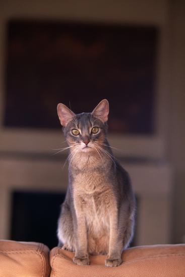 Abyssinian Blue Cat Sitting on Sofa-DLILLC-Photographic Print