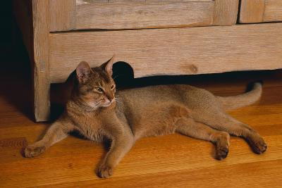Abyssinian Cat Lounging on Floor-DLILLC-Photographic Print